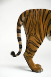 The Tail End of an Endangered Malayan Tiger, Panthera Tigris Jacksoni Stampa fotografica di Sartore, Joel