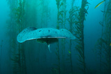 Brian J. Skerry - An Electric Torpedo Ray in a Kelp Forest on Cortes Bank Fotografická reprodukce