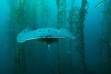 Brian J. Skerry - An Electric Torpedo Ray in a Kelp Forest on Cortes Bank - Fotografik Baskı