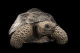 A Galapagos Tortoise, Geochelone Nigra, at the Lincoln Children's Zoo Photographic Print by Joel Sartore