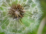 The Seeds of a Dandelion Flower Begin to Give Way to the Wind Photographic Print by Amy and Al White and Petteway