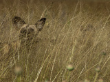 A Cape Hunting, or African Wild Dog, Camouflaged in Tall Grass Photographic Print by Beverly Joubert