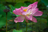 A Lotus Flower Blooming in Tahiti Photographic Print by Karen Kasmauski
