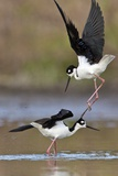 A Pair of Black-Necked Stilts, Himantopus Mexicanus, Fighting over a Female Photographic Print by Karine Aigner