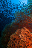 A Red Fan Coral in Blue Water with a School of Fish Above Photographic Print by Ben Horton