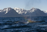 A Humpback Whale Spouting Off the Mountainous Coast of Alaska Photographic Print by Michael S. Quinton