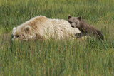 A Brown Bear Spring Cub Resting on its Mother's Back Photographic Print by Barrett Hedges