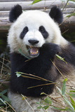 A Giant Panda at the Panda Research Center Photographic Print by Michael Melford