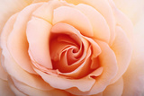Close Up of a Peach or Flesh-Colored Rose Photographic Print by Joe Petersburger