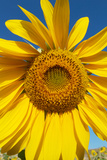 Close Up of a Sunflower, Helianthus Petiolaris Photographic Print by Sean Gallagher