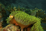 An Anemonefish Keeping Close by a Large Sea Anemone Photographic Print by Tim Laman