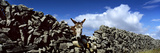 A Donkey Looking over a Stone Wall in Galway Ireland Fotografisk tryk af Chris Hill