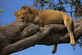 A Male Lion Sleeping in a Tree Fotodruck von Beverly Joubert