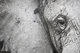 Close Up Portrait of an African Elephant Photographic Print by Cory Richards