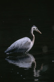 Portrait of a Great Blue Heron Hunting Photographic Print by Dr. Maurice G. Hornocker