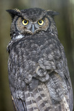 Portrait of a Great Horned Owl, Bubo Virginianus Photographic Print by Michael Melford