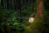 A Spirit or Kermode Bear Asleep on a Bed of Moss Photographic Print by Jed Weingarten