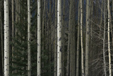 A Dense Aspen Forest Photographic Print by Raul Touzon