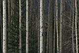 A Dense Aspen Forest Fotografiskt tryck av Raul Touzon