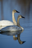 A Pair of Trumpeter Swans, Cygnus Buccinator, Swimming Photographic Print by Michael S. Quinton