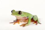 An Endangered Blue-Sided Tree Frog, Agalychnis Annae Photographic Print by Joel Sartore