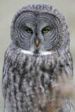 The Face of a Great Gray Owl Looking for Food Photographic Print by Barrett Hedges
