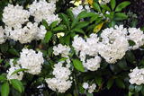 Mountain Laurel, Kalmia Latifolia, after a Rain Photographic Print by Darlyne A. Murawski