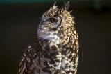 Stephen Alvarez - Portrait of a Spotted Eagle-Owl, Bubo Africanus Fotografická reprodukce