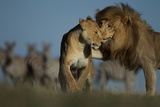 An Adult Male Lion Approaches a Vumbi Female Photographic Print by Michael Nichols