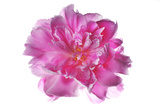 A Peony Photographic Print by Robert Llewellyn
