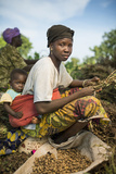 A Woman Harvests Peanuts on a Farm Fotografiskt tryck av Jim Richardson