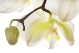 Orchid Flowers Photographic Print by Robert Llewellyn