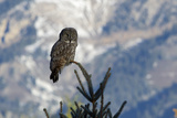 A Great Gray Owl Perches Right on Top a Small Tree Photographic Print by Barrett Hedges