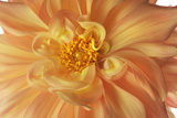 A Dahlia Photographic Print by Robert Llewellyn