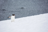 A Gentoo Penguin Walking in a Snow Storm Photographic Print by Ira Meyer