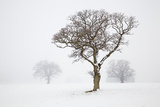 An Oak Tree in Snow and Fog in Devon, England Photographic Print by Nigel Hicks