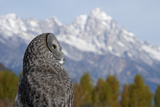 A Great Grey Owl Looks Up at the Tetons Photographic Print by Barrett Hedges