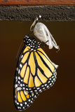 A Butterfly That Just Underwent Metamorphosis Photographic Print by Jeff Mauritzen