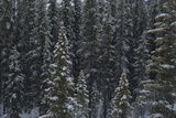 Evergreen Trees after a Snowstorm Photographic Print by Raul Touzon