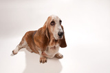 A Studio Portrait of Bogie the Bassett Hound Photographic Print by Joel Sartore