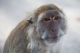 A Portrait of a Macaque Photographic Print by Ben Horton