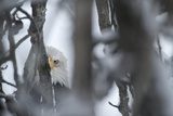 An American Bald Eagle Hidden Among Tree Branches Photographic Print by Peter Mather