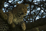 A Leopard Lying in a Tree Photographic Print by Beverly Joubert