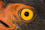 A Slate Colored Hawk, Leucopternis Schistaceus Photographic Print by Carrie Vonderhaar/Ocean Futures Society
