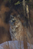 Portrait of a Canadian Lynx, Lynx Canadensis, in Snow Photographic Print by Michael S. Quinton