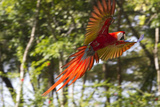A Scarlet Macaw in Flight Photographic Print by Roy Toft