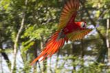 A Scarlet Macaw in Flight Lámina fotográfica por Roy Toft