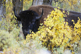 A Bison Looks around the Fall Colors Photographic Print by Barrett Hedges