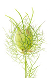 A Love in a Mist Flower Photographic Print by Robert Llewellyn