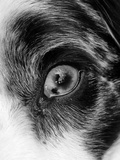 Close Up of a Pet Dog's Eye Photographic Print by Amy and Al White and Petteway